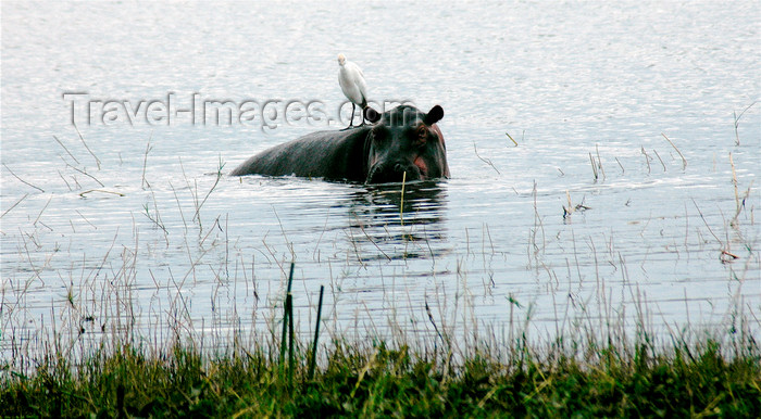 malawi8: Liwonde National Park, Southern region, Malawi: hippo in the water - Hippopotamus amphibius - photo by D.Davie - (c) Travel-Images.com - Stock Photography agency - Image Bank