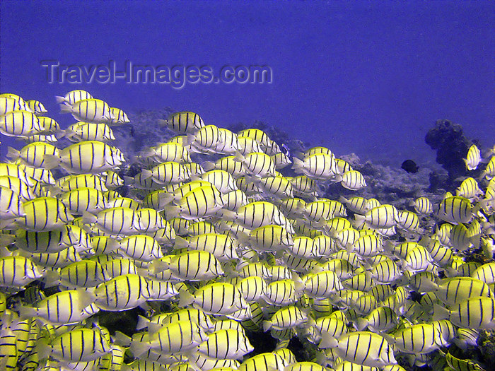 Maldives Underwater School of Yellow grunts (photo by B.Cain)