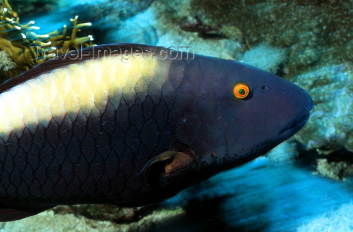 maldives-u51: Maldives - underwater - Ari-Atoll - parrotfish - photo by W.Allg&#246;wer - Die Papageifische (Scaridae) sind eine Familie in der Ordnung der Barschartigen (Perciformes) und geh&#246;ren zu den Lippfischartigen (Labroidei). Papageifische bewohnen in gro&#223;en Gruppen  - (c) Travel-Images.com - Stock Photography agency - Image Bank