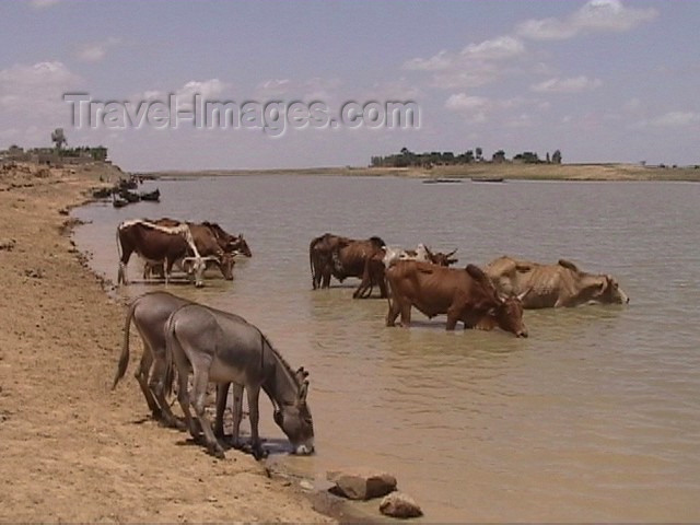 mali12: Mali - River Niger: donkeys and cows share a drink - photo by A.Slobodianik - (c) Travel-Images.com - Stock Photography agency - Image Bank