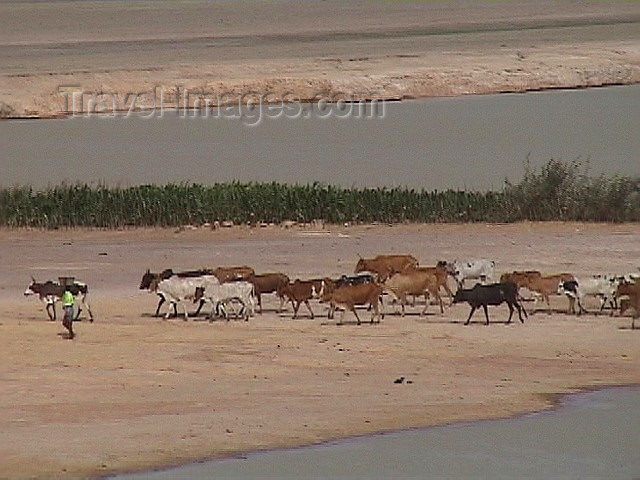 mali9: Mali - Gao region: Sahel - a shepherd and his herd of cows - photo by A.Slobodianik - (c) Travel-Images.com - Stock Photography agency - Image Bank