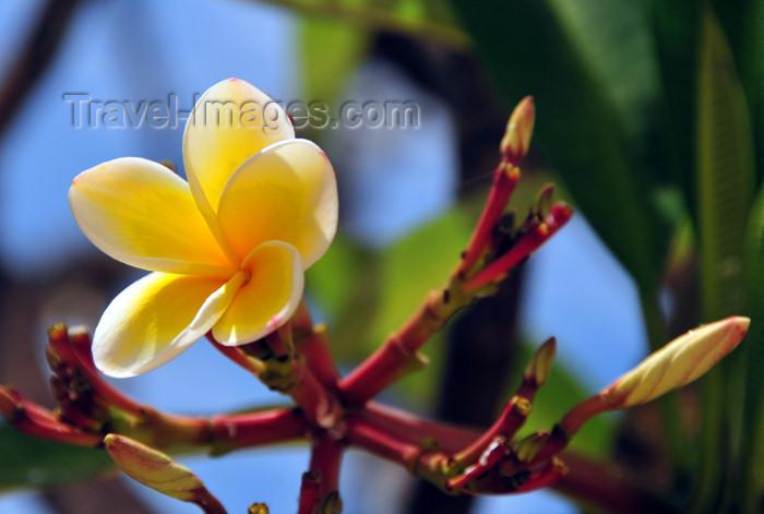 mayotte11: Mamoudzou, Grande-Terre / Mahore, Mayotte: white frangipani flower - Plumeria alba - photo by M.Torres - (c) Travel-Images.com - Stock Photography agency - Image Bank