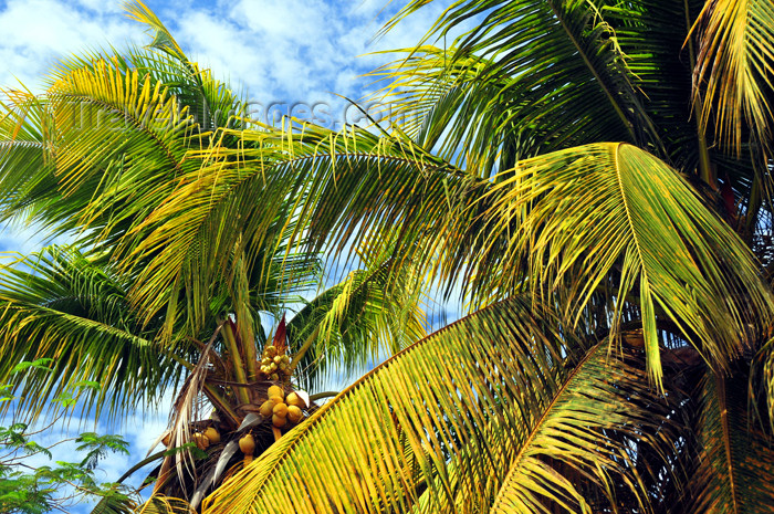mayotte13: Mamoudzou, Grande-Terre / Mahore, Mayotte: coconut trees - photo by M.Torres - (c) Travel-Images.com - Stock Photography agency - Image Bank