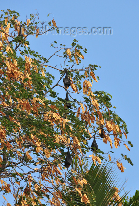 mayotte43: Pamandzi, Petite-Terre, Mayotte: large bats on a tree - chauves-souris - photo by M.Torres - (c) Travel-Images.com - Stock Photography agency - Image Bank