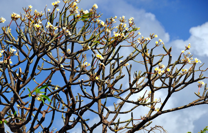 mayotte55: Labattoire, Petite-Terre, Mayotte: Frangipani tree - plumeria - frangipanier - photo by M.Torres - (c) Travel-Images.com - Stock Photography agency - Image Bank