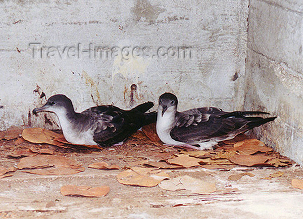 midway12: Midway Atoll - Sand island: Bonin Petrel pair Pterodroma hypoleuca - sea bird - photo by G.Frysinger - (c) Travel-Images.com - Stock Photography agency - Image Bank