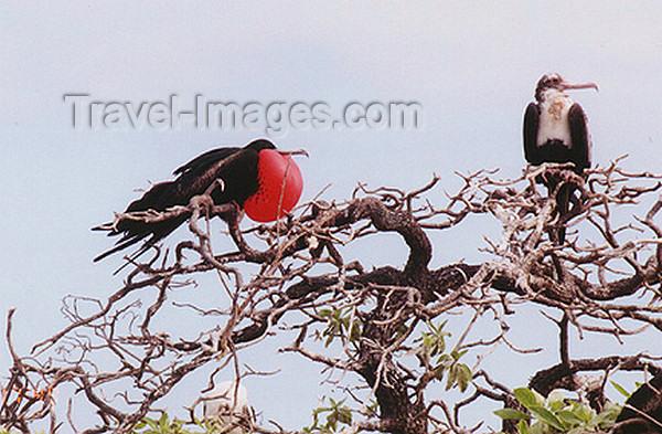 midway14: Midway Atoll - Sand island: Great Frigatebird - Fregata minor - birds - fauna - wildlife  - photo by G.Frysinger - (c) Travel-Images.com - Stock Photography agency - Image Bank