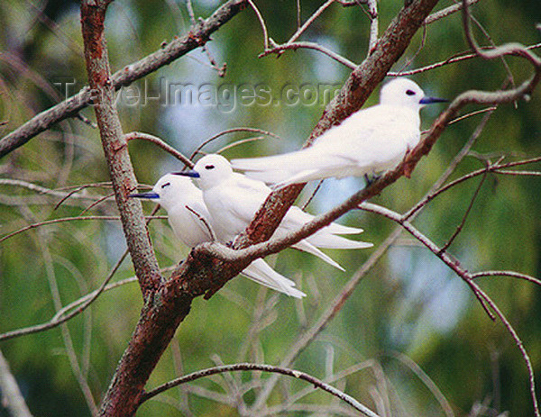 midway15: Midway Atoll - Sand island: White (Fairy) tern - birds - fauna - wildlife - photo by G.Frysinger - (c) Travel-Images.com - Stock Photography agency - Image Bank
