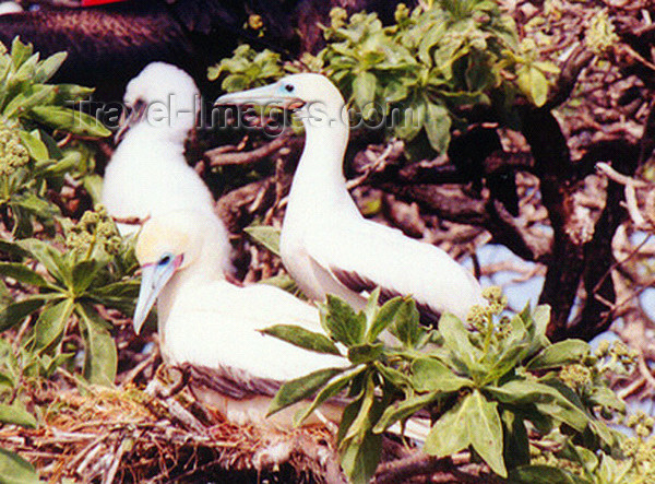 midway16: Midway Atoll - Sand island: birds: Red footed booby  - Sula sula - birds - fauna - wildlife - photo by G.Frysinger - (c) Travel-Images.com - Stock Photography agency - Image Bank