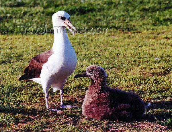 midway2: Midway Atoll: Laysan albatross (white gooney) at the National Wildlife Refuge - Phoebastria immutabilis - birds - fauna - wildlife - photo by G.Frysinger - (c) Travel-Images.com - Stock Photography agency - Image Bank