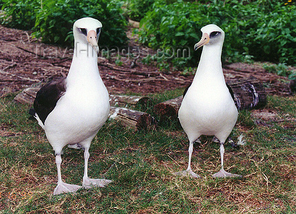 midway5: Midway Atoll - Sand island: birds - pair of Laysan albatrosses - photo by G.Frysinger - (c) Travel-Images.com - Stock Photography agency - Image Bank