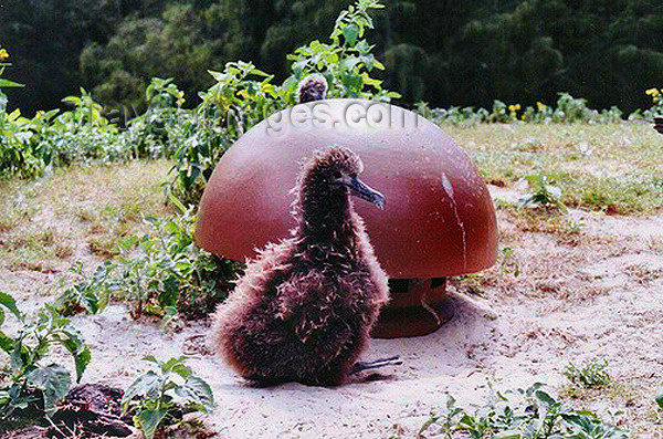 midway9: Midway Atoll - Sand island: albatross chick next to a ceramic vent cap on top of a bunker - birds - fauna - wildlife - photo by G.Frysinger - (c) Travel-Images.com - Stock Photography agency - Image Bank
