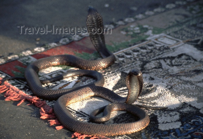 moroc115: Morocco / Maroc - Marrakesh: snakes - Place Djemaa el Fna - cobras - photo by F.Rigaud - (c) Travel-Images.com - Stock Photography agency - Image Bank