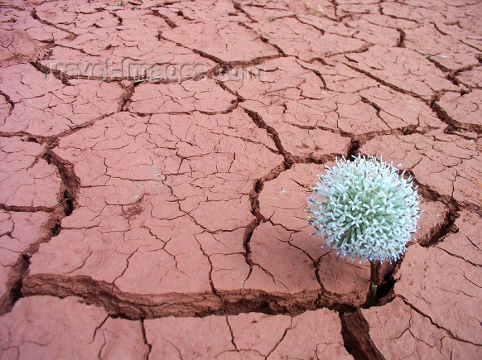 moroc284: Morocco / Maroc - Gorge du Dades / Dades gorge: impossible flower - dry and cracked ground - dry mud - photo by J.Kaman - (c) Travel-Images.com - Stock Photography agency - Image Bank