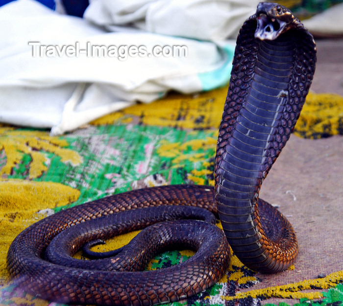 moroc511: Marrakesh - Morocco: cobra - Djema el Fnaa square - photo by Sandia - (c) Travel-Images.com - Stock Photography agency - Image Bank