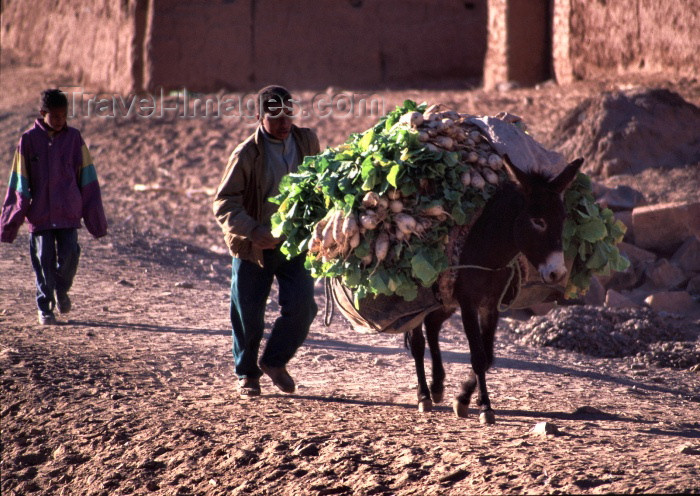 moroc80: Morocco / Maroc - Tamegroute (Souss Massa-Draa / Zagora): donkey bringing the turnips to the market - photo by F.Rigaud - (c) Travel-Images.com - Stock Photography agency - Image Bank