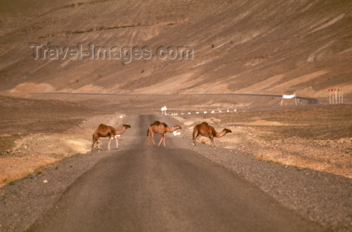 moroc92: Morocco / Maroc - Imilchil: camels cross the road - photo by F.Rigaud - (c) Travel-Images.com - Stock Photography agency - Image Bank