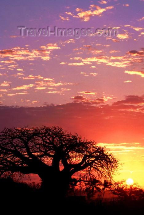 mozambique132: Mozambique / Moçambique - Pemba, Cabo Delgado: baobab tree at sunset - Adansonia digitata / embondeiro e pôr do sol - photo by F.Rigaud - (c) Travel-Images.com - Stock Photography agency - Image Bank