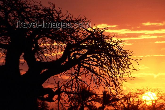 mozambique197: Pemba / Porto Amélia, Cabo Delgado, Mozambique / Moçambique: baobab tree silhouette at sunset - Adansonia digitata and red sky / silhueta de um embondeiro ao pôr do sol - photo by F.Rigaud - (c) Travel-Images.com - Stock Photography agency - Image Bank