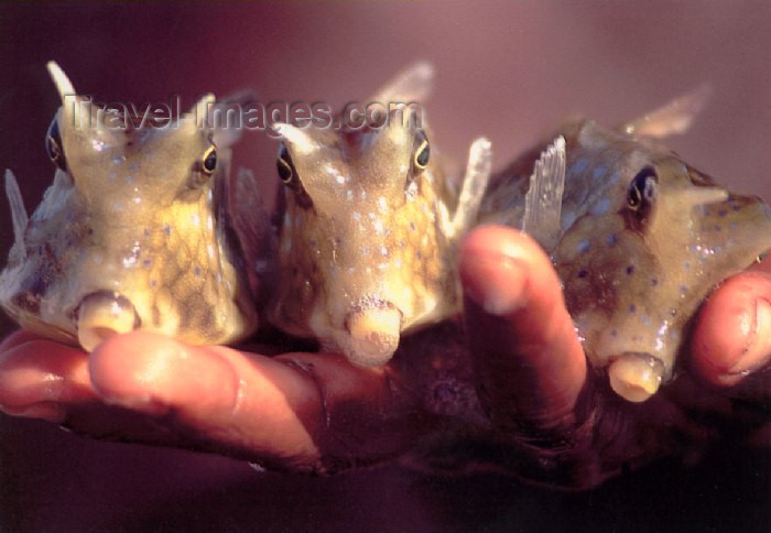 mozambique76: Mozambique / Moçambique - Benguerra: colourful cowfish on a boy's hand / peixe-vaca - peixes coloridos - photo by F.Rigaud - (c) Travel-Images.com - Stock Photography agency - Image Bank