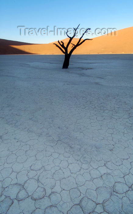 namibia132: Namib desert - Deadvlei - Hardap region, Namibia: lone tree on crackled salt pan - photo by B.Cain - (c) Travel-Images.com - Stock Photography agency - Image Bank