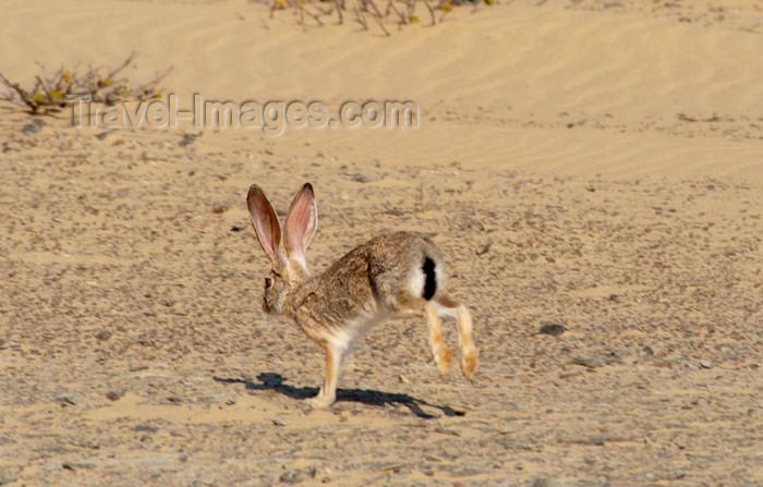 namibia135: Namibia: Desert Hare, Skeleton Coast - photo by B.Cain - (c) Travel-Images.com - Stock Photography agency - Image Bank