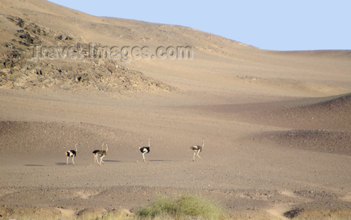 namibia138: Namibia: Five ostriches on desert at Skeleton Coast - photo by B.Cain - (c) Travel-Images.com - Stock Photography agency - Image Bank