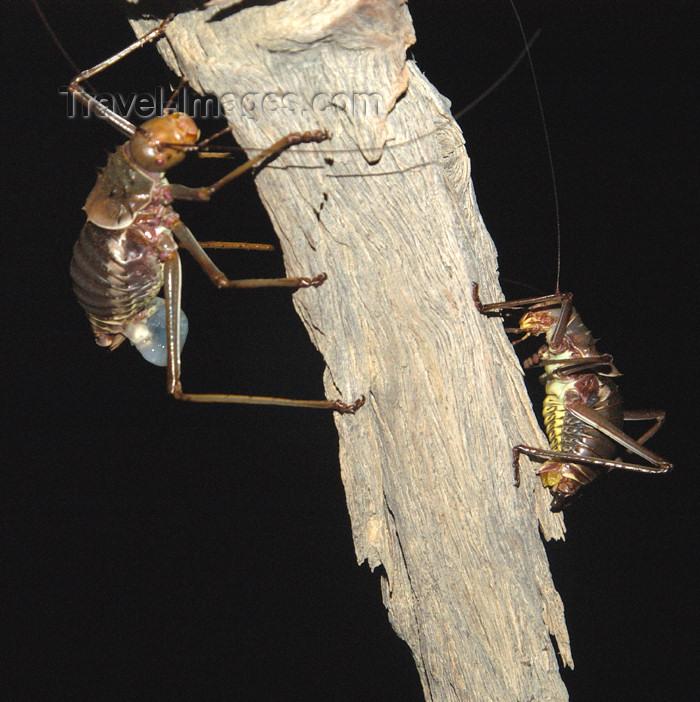 namibia141: Namibia: Giant Crickets at night, Little Kulala Lodge, near Sossusvlei - photo by B.Cain - (c) Travel-Images.com - Stock Photography agency - Image Bank