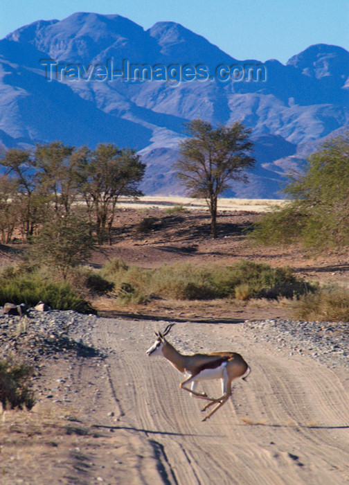 namibia180: Namibia: Springbok galloping across road - Antidorcas marsupialis, mountains in back, near Sossusvlei - photo by B.Cain - (c) Travel-Images.com - Stock Photography agency - Image Bank