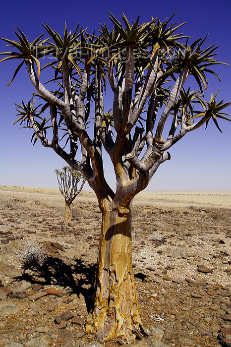 namibia215: Erongo region, Namibia: Quiver yree, typical of Namibia - on the way to Swakopmund - photo by Sandia - (c) Travel-Images.com - Stock Photography agency - Image Bank