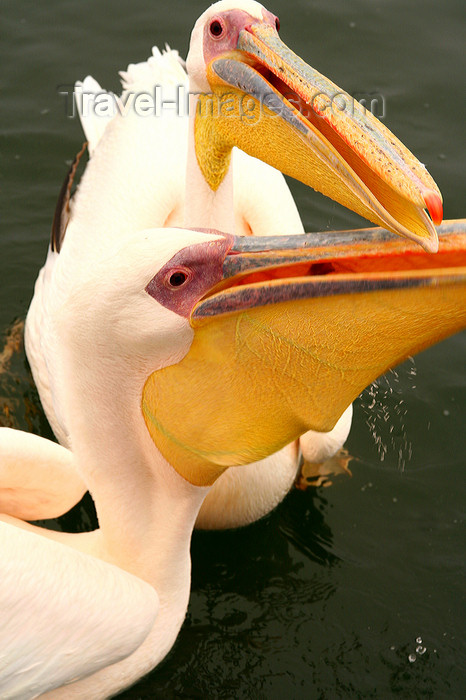 namibia223: Walvis Bay / Walvisbaai / Walfischbucht , Erongo region, Namibia: seal and dolphin cruise - pelicans - photo by Sandia - (c) Travel-Images.com - Stock Photography agency - Image Bank