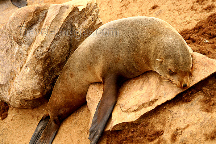 namibia224: Cape Cross / Kaap Kruis, Erongo region, Namibia: seal colony - Cape fur seal - Arctocephalus pusillus - photo by Sandia - (c) Travel-Images.com - Stock Photography agency - Image Bank
