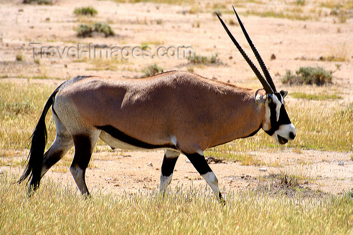 namibia234: Etosha Park, Kunene region, Namibia: Oryx / Gemsbok - Oryx gazella - photo by Sandia - (c) Travel-Images.com - Stock Photography agency - Image Bank