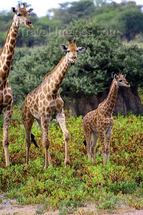 namibia238: Etosha Park, Kunene region, Namibia: giraffes on the move - photo by Sandia - (c) Travel-Images.com - Stock Photography agency - Image Bank