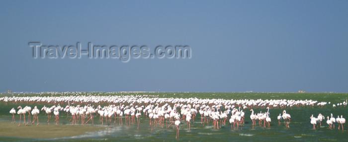 namibia25: Namibia: Walvis Bay: flamingos on the beach - wildlife - photo by J.Banks - (c) Travel-Images.com - Stock Photography agency - Image Bank