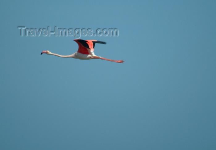 namibia43: Africa - Namibia - Walvis Bay: flamingo in flight - photo by J.Banks - (c) Travel-Images.com - Stock Photography agency - Image Bank