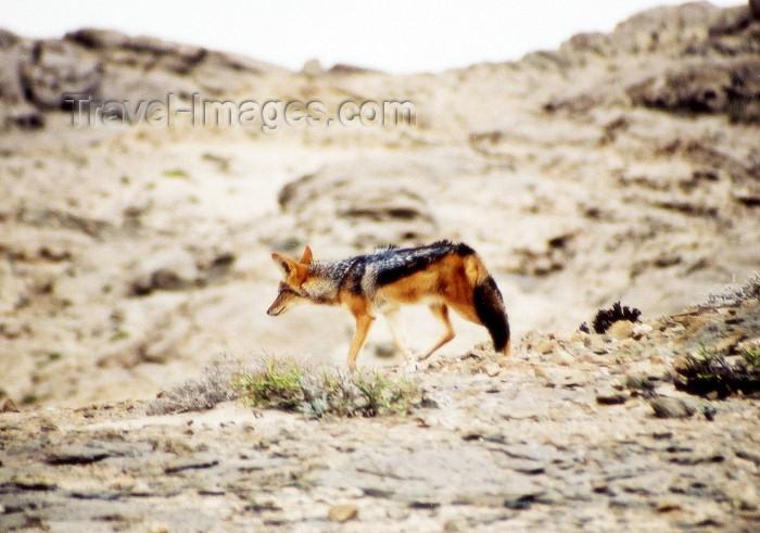 namibia45: Namibia - Swakopmund, Erongo region: jackal - photo by J.Stroh - (c) Travel-Images.com - Stock Photography agency - Image Bank