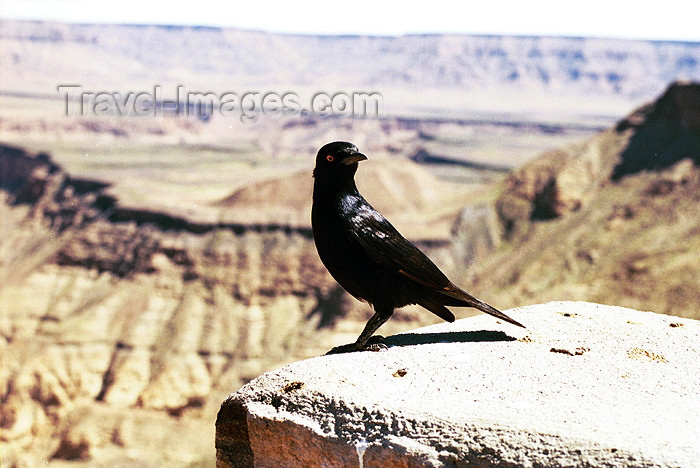 namibia49: Namibia - Fish River Canyon / Visrivier Canyon: Blackbird - Turdus merula - photo by J.Stroh - (c) Travel-Images.com - Stock Photography agency - Image Bank