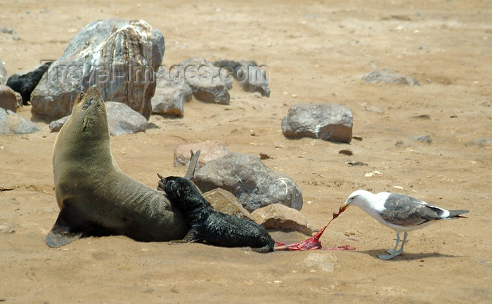 namibia7: Cape Cross Seal Reserve - Skeleton coast: newly born seal pup and his friend - seagul eating the placenta - Cape fur seals - Arctocephalus pusillus - photo by J.Banks - (c) Travel-Images.com - Stock Photography agency - Image Bank