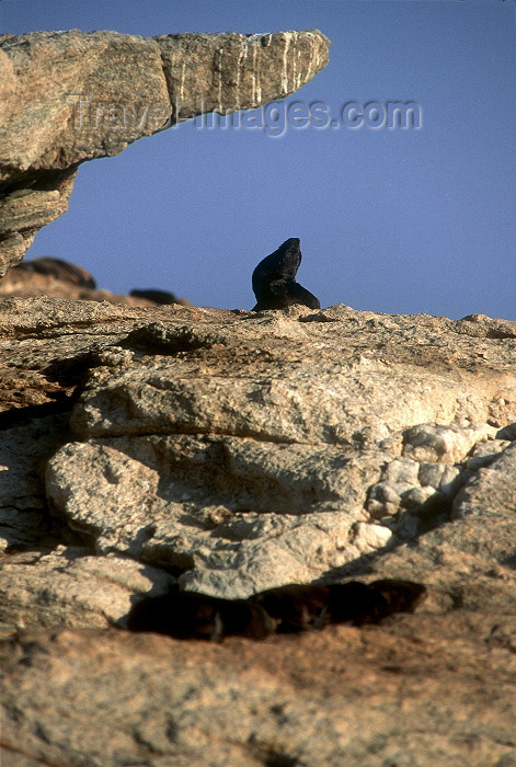 namibia75: Namibia - Luderitz - Dias Point: seal posing under a rock - photo by G.Friedman - (c) Travel-Images.com - Stock Photography agency - Image Bank