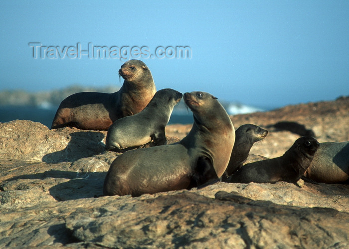 namibia78: Namibia - Luderitz - Dias Point: seal group - photo by G.Friedman - (c) Travel-Images.com - Stock Photography agency - Image Bank