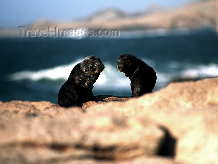 namibia79: Namibia - Luderitz - Dias Point / Dias Cross: baby seals - photo by G.Friedman - (c) Travel-Images.com - Stock Photography agency - Image Bank