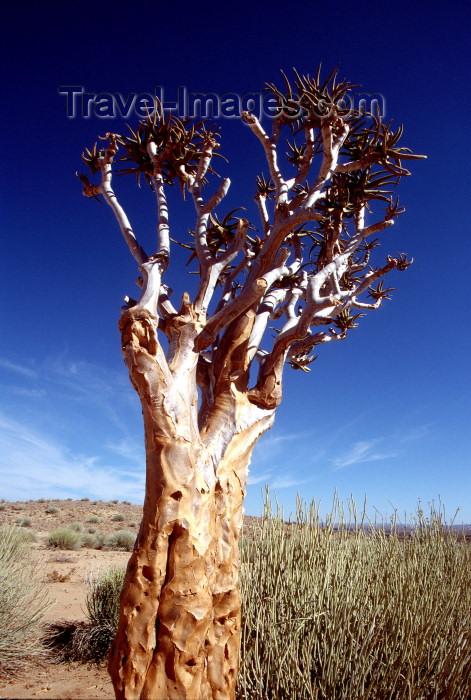 namibia88: Namibia - Keetmanshoop, Karas Region: Quiver trees - Kokerboom - Aloe dichotoma - photo by G.Friedman - (c) Travel-Images.com - Stock Photography agency - Image Bank