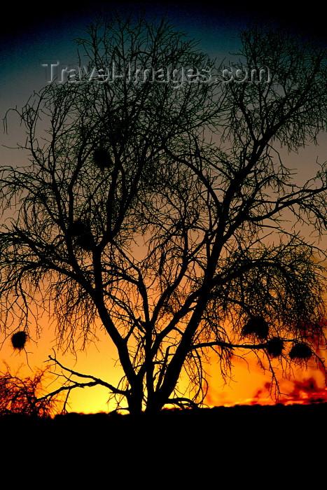 namibia95: Namibia - Sunset -weaverbird nests - photo by G.Friedman - (c) Travel-Images.com - Stock Photography agency - Image Bank