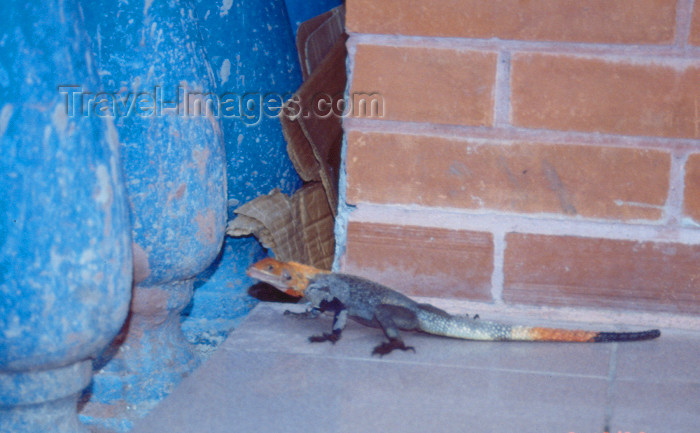 nigeria8: Nigeria - Lagos: colourful lizard - reptile - photo by Dolores CM - (c) Travel-Images.com - Stock Photography agency - Image Bank