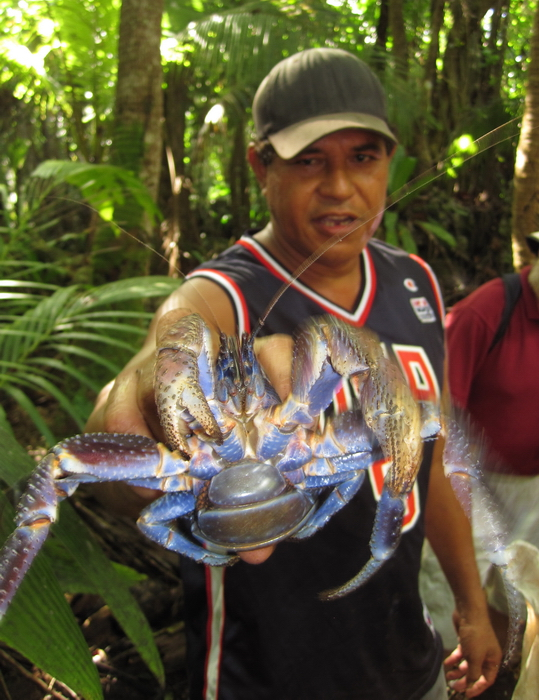 niue5: Niue: uga crab / coconut crab (Birgus latro) captured in the jungle near Mutalau village, held by the 'hunter' - photo by R.Eime - (c) Travel-Images.com - Stock Photography agency - Image Bank
