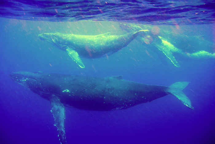 niue6: Niue: trio of blue whales - Balaenoptera musculus - underwater image - photo by R.Eime - (c) Travel-Images.com - Stock Photography agency - Image Bank