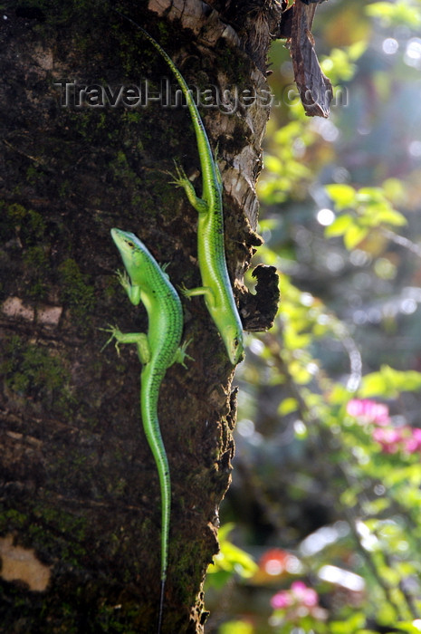 palau16: Palau : two green lizards on a tree trunk - reptiles - photo by B.Cain - (c) Travel-Images.com - Stock Photography agency - Image Bank