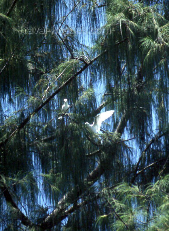 palau7: Anguar island, Palau: white birds on a tree - photo by M.Sturges - (c) Travel-Images.com - Stock Photography agency - Image Bank