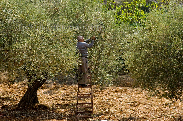 palest41: Bet Jala, West Bank, Palestine: man picking olives using a step ladder - photo by J.Pemberton - (c) Travel-Images.com - Stock Photography agency - Image Bank